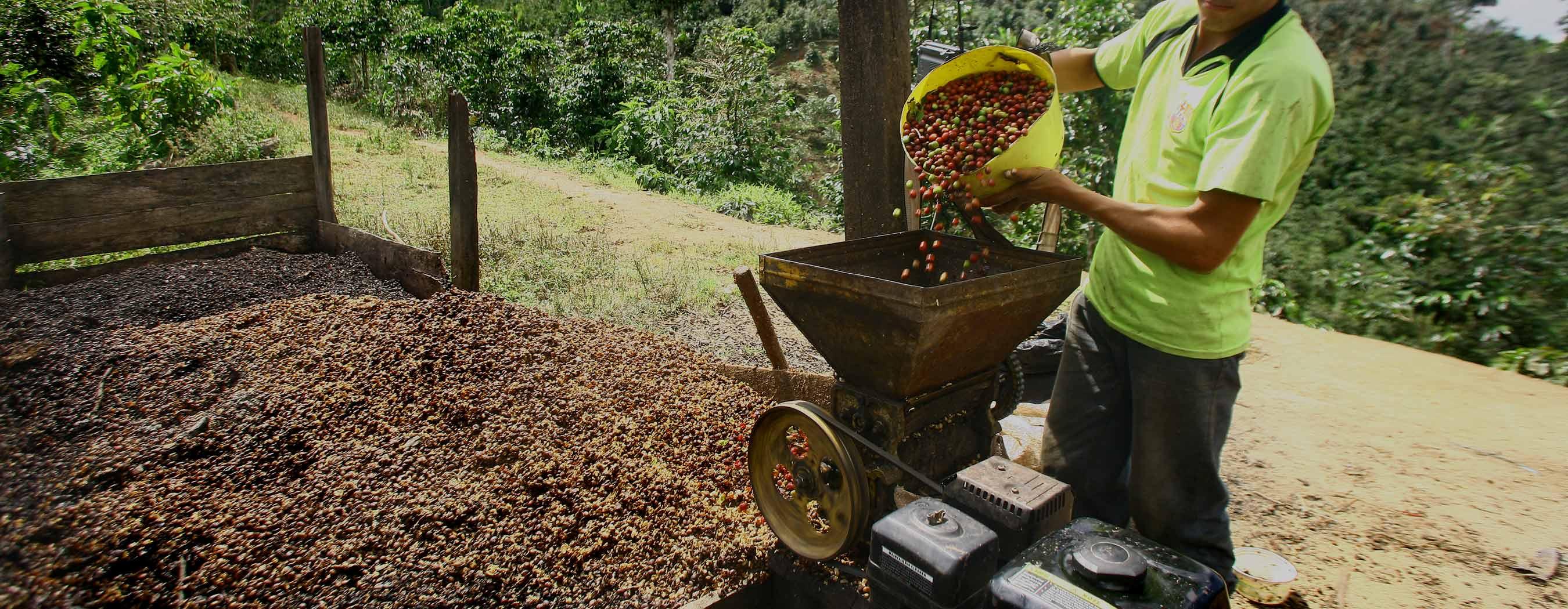 Cerezas de cafe procesamiento