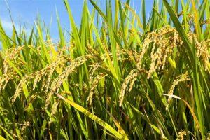 Circuito productivo del arroz