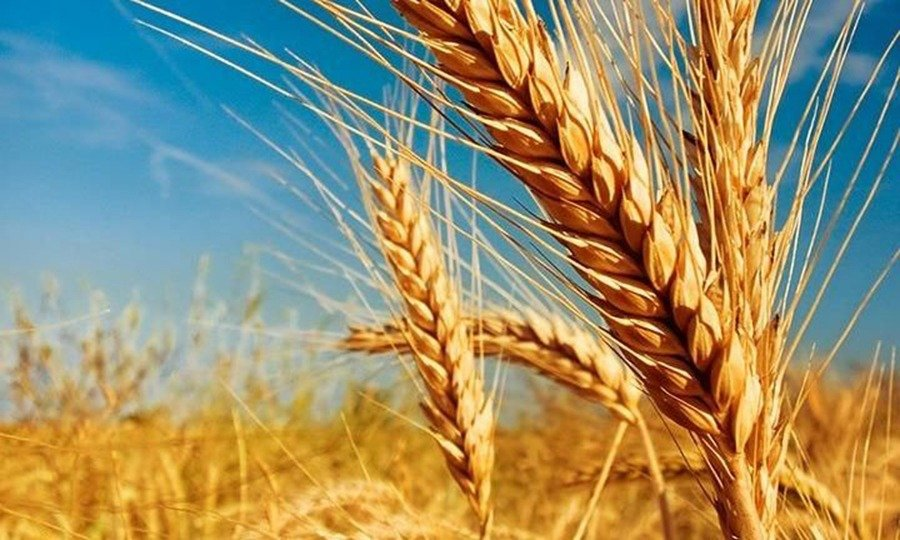 Circuito productivo del trigo