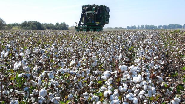 Cosecha de algodon en argentina