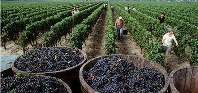 Cosecha de uvas