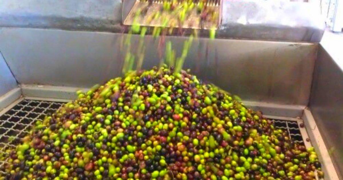 Lavado de aceituna de oliva