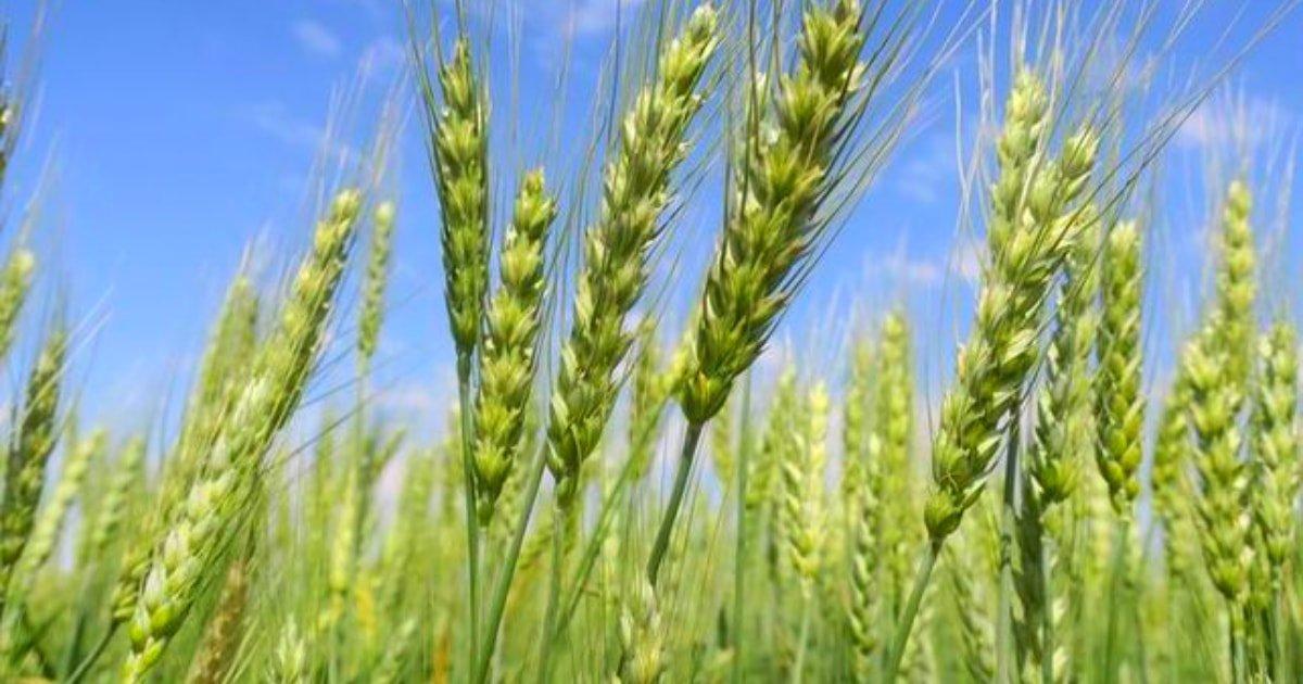 Tipos de trigo
