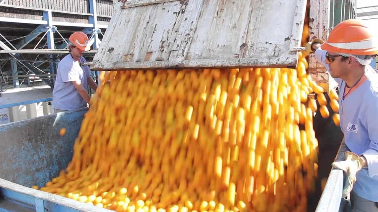 Siembra y cosecha de naranjas