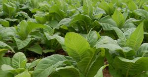 Circuito productivo del tabaco Etapas, Significado y Procesos